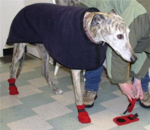 greyhound-wears-boots