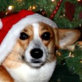 Christmas Dog in Santa Hat