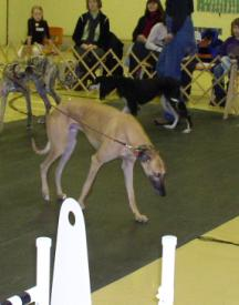 Dogs walking on tile floor in show ring